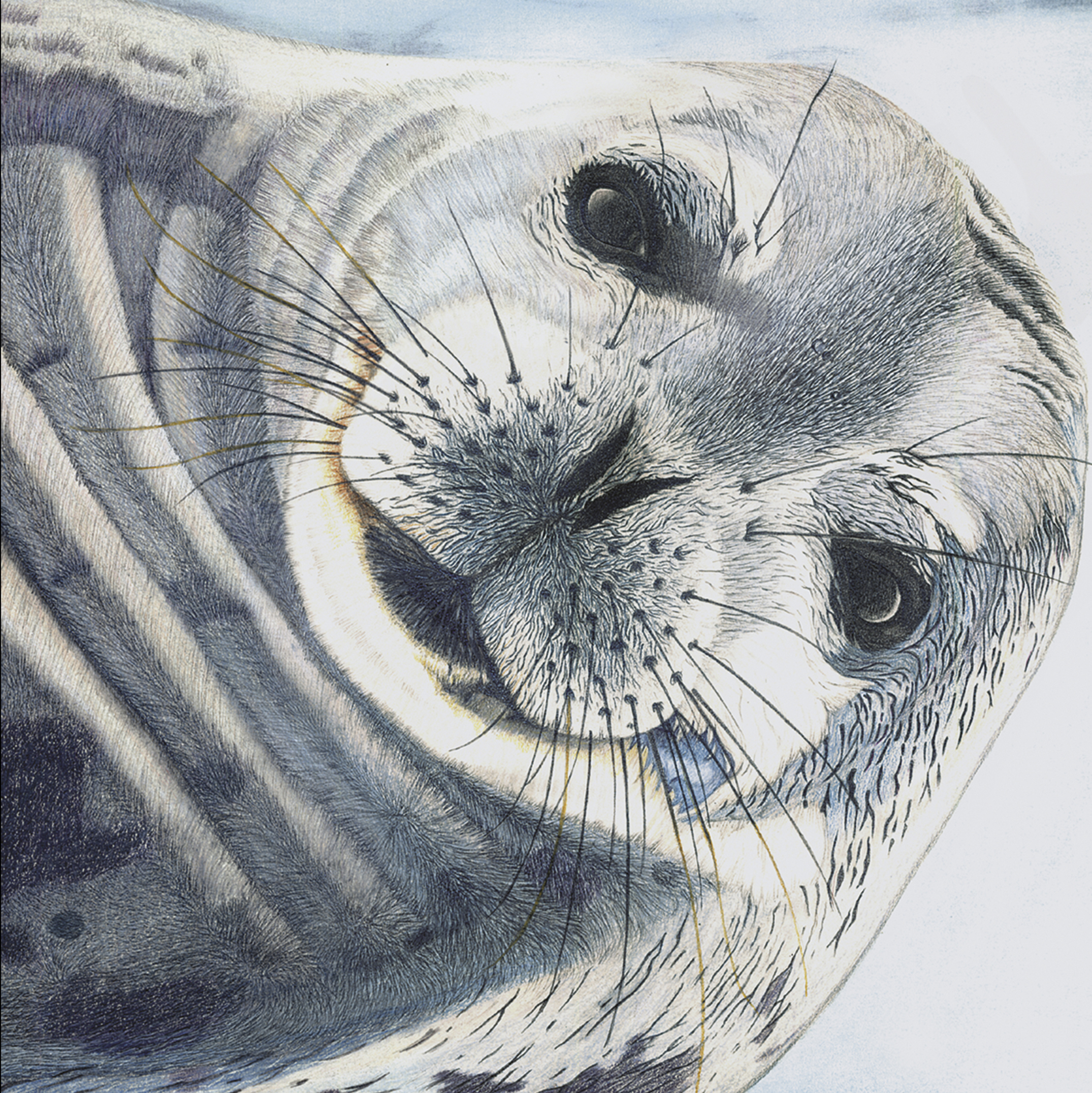 Seal - colour and graphite pencils, pastel